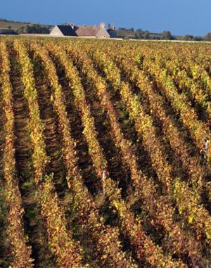 Burgundy vineyard.